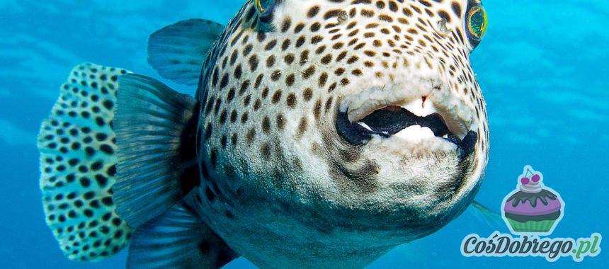 Fugu – trująca ryba japońska